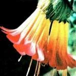 """20 de octubre """"Dia de la Kantuta"""" flor Nacional de Bolivia"""