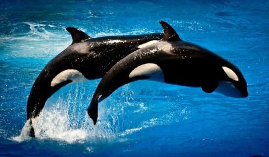 orcas-seaworld-orlando-960x623