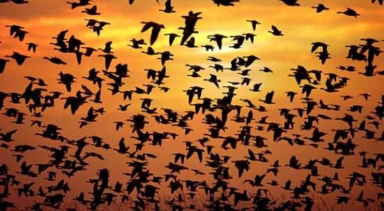 aves-migratorias-625x343
