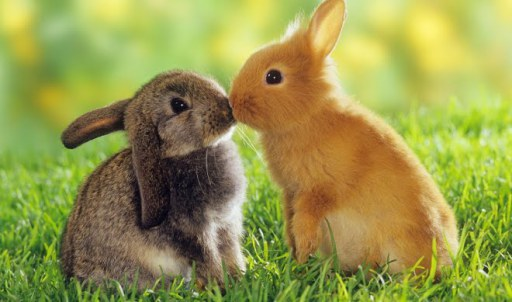 bunnies-kissing